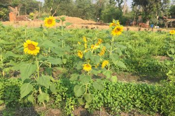 Companion planting sunflowers herbs