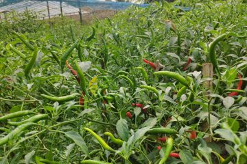 Field of chilis